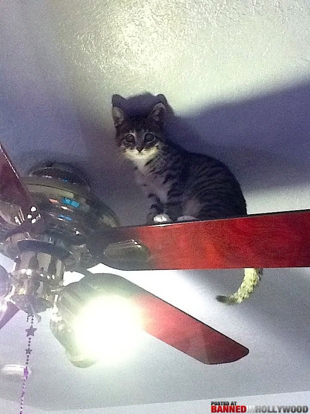 Cat Up On The Ceiling Fan Cool Cats Cats Cat Pics