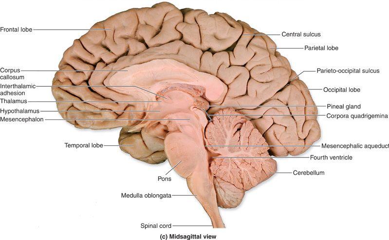brain anatomy | AUTISM | Pinterest | Salud