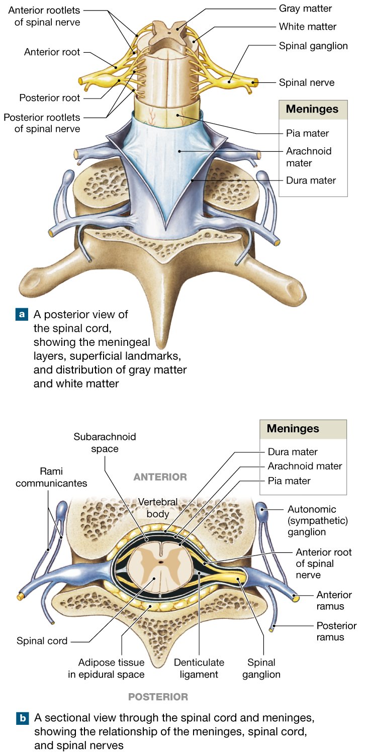 13.2: The spinal cord is surrounded by three meninges and has spinal ...