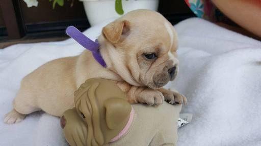 French Bulldog Puppy For Sale In Farmington Mo Adn 34045 On