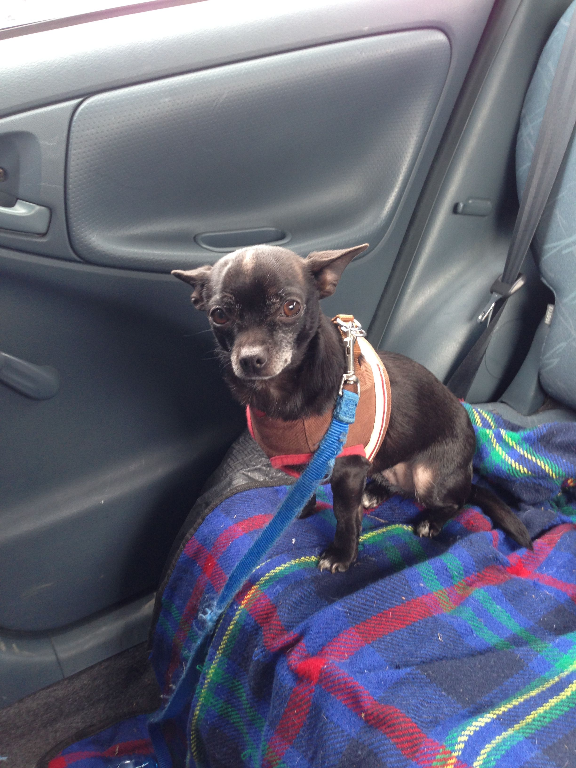 Pixie Chihuahua Pawshake