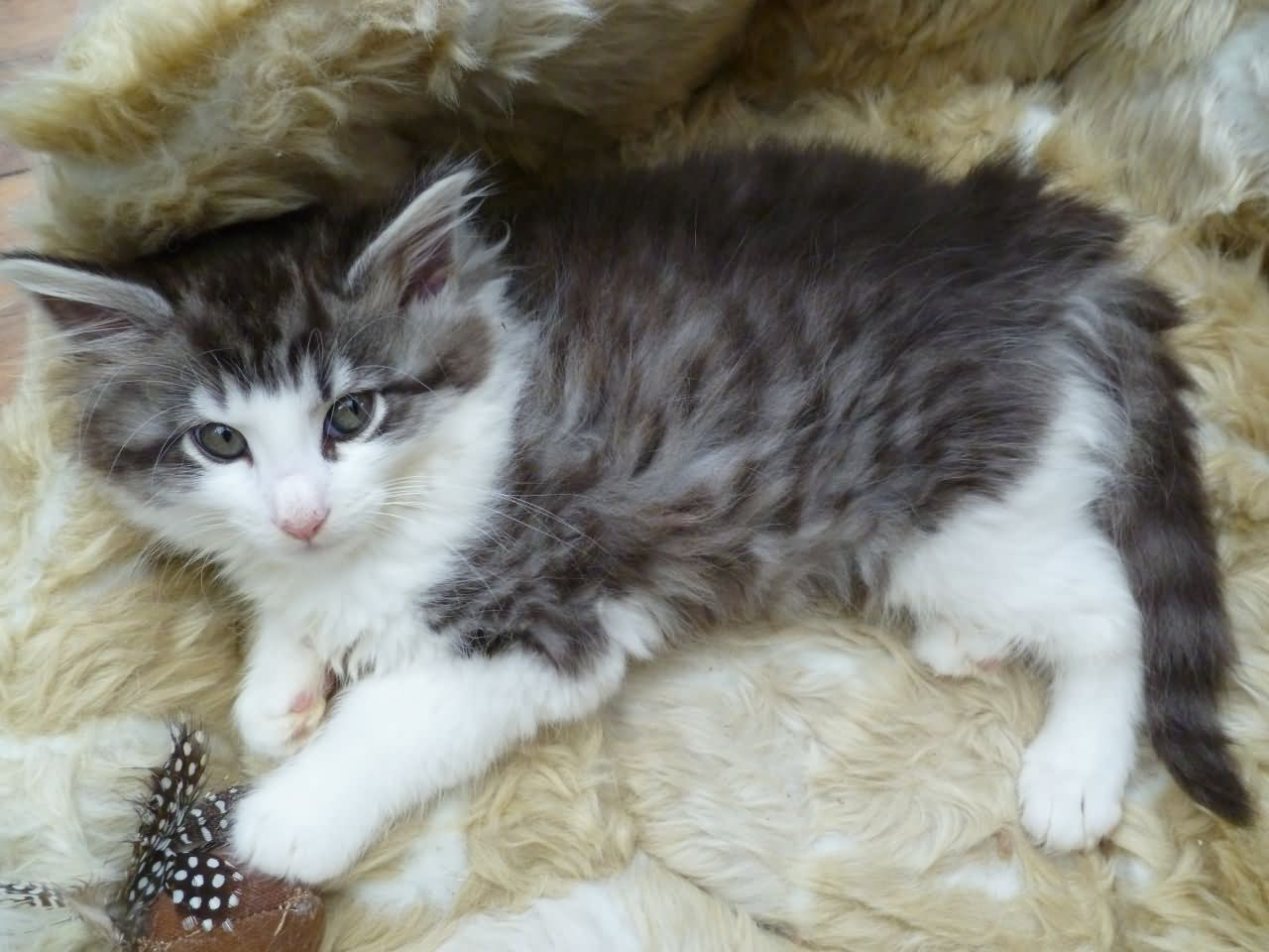 Cute Norwegian Forest Kitten Laying On Bed Norwegian Forest Cat