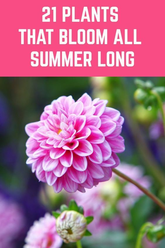 21 Plants That Bloom All Summer Long is part of Plants, Garden yard ideas, Planting flowers, Garden, Lawn and garden, Vegetable garden - Here is a wide selection of beautiful summer plants which bloom profusely throughout the season without much pampering from you