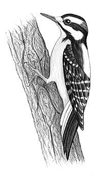 hairy woodpecker sketch by nicole perretta 2001 bird