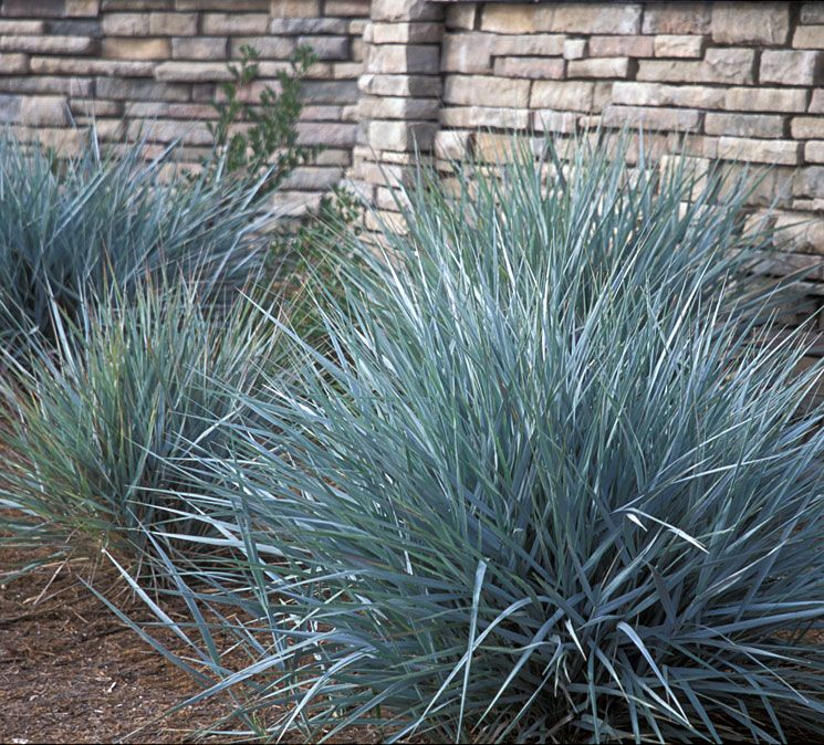 Leymus condensatus 39 canyon prince 39 native sons annotated for Small blue ornamental grass