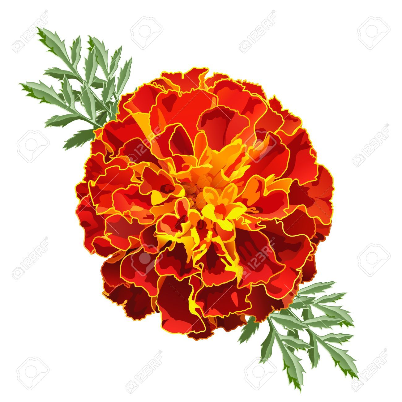 Red marigold flower tagetes patula isolated on white background red marigold flower tagetes patula isolated on white background stock photo picture and mightylinksfo