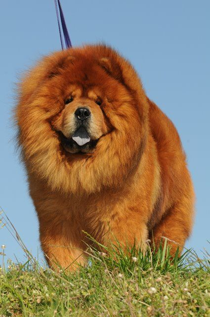 Red Beauty Chow Chow Puppy Dogs Chow Dog Breed