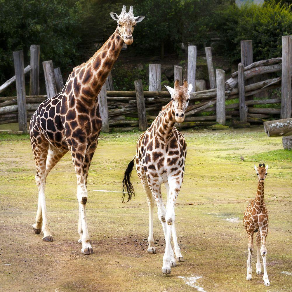 Giraffidae . So Beautiful I
