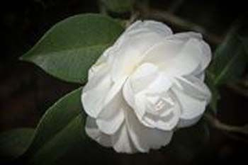 Purest White Camellia Different Types Of Flowers Flower Names Flowers