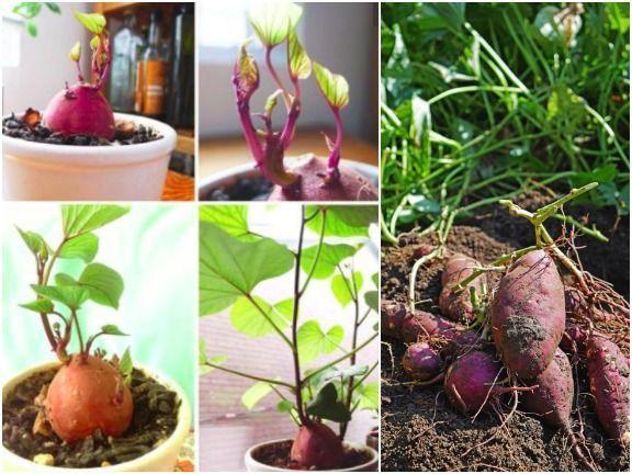 S kartoffel anbau im eigenen garten for Wann kartoffeln pflanzen