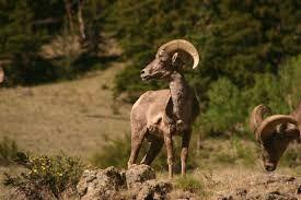 Big Horn Sheep..Castle Rock Area out towards Bassam Park in San Isabel National Forest