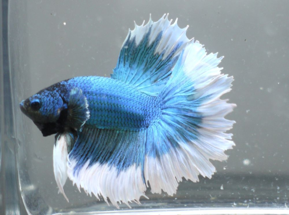 live Tropical Fish-turquoise blue white feather tail ...