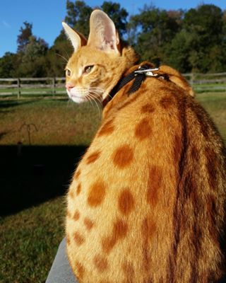 The Ginger Ones Have Crazy Spots People Have Giant Cats Living In Their Houses And Oh My Goodness Giant Cat Savannah Cat Dancing Cat