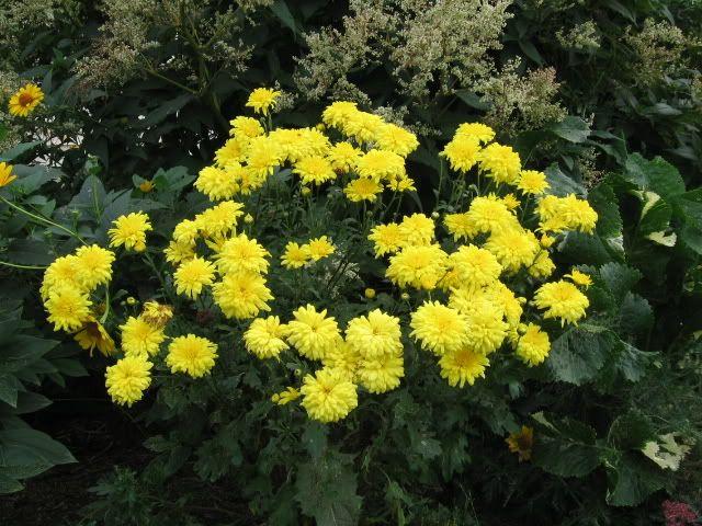 Chrysanthemum X Morifolium Chryssanthemum Garden Mum Chrysanthemum Morifolium Perennial Garden