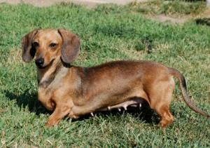 Saucers Foster Me Is An Adoptable Dachshund Dog In Woodbury