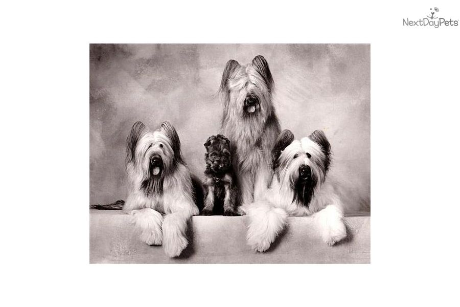 Deja Vu Briards Briard Dog Briard Puppies Briard