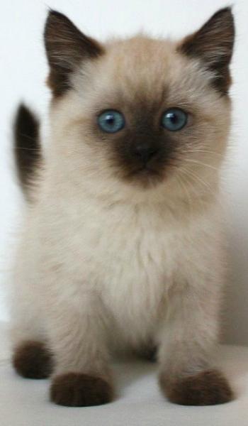 What a cutie Cute cats photos, Cute cats, Siamese cats