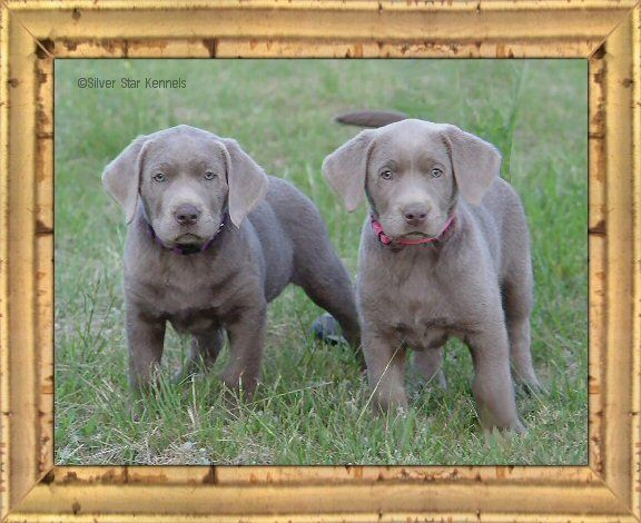 Silver Labs.  Want one soooo bad. Love the silver ones with blue eyes :)