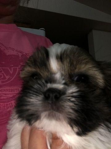 Litter Of 5 Shih Tzu Puppies For Sale In Trenton Fl Adn 31128 On Puppyfinder Com Gender Male Age 6 Weeks Old Puppies For Sale Puppies Shih Tzu Puppy