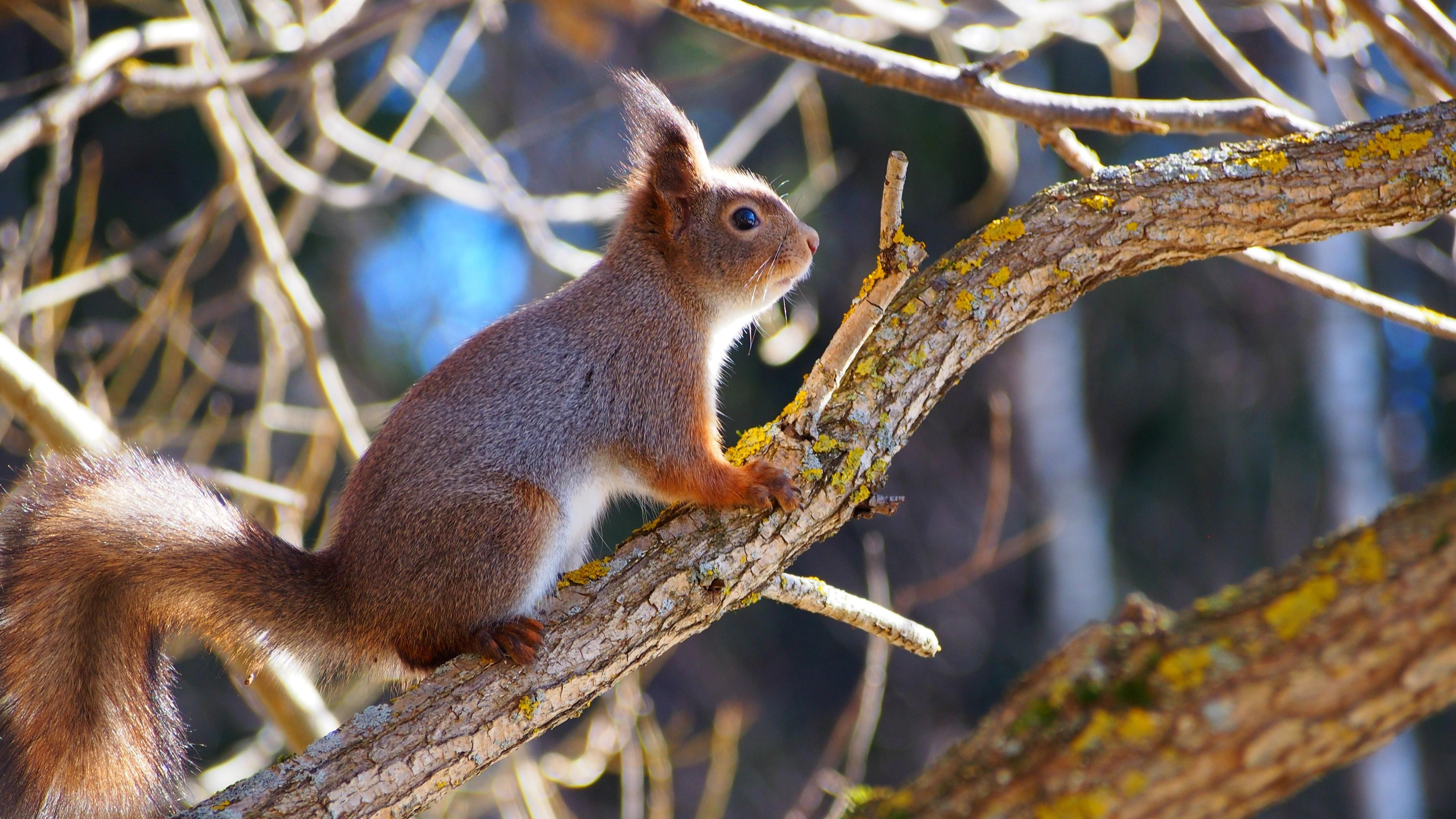 """Orava kevättunnelmissa ©Hessu: """"Oli aurinkoinen kevätpäivä, kun bongasin läheisestä puusta söpön oravan. Hain kamerani ja ehdin vielä napata kuvan suloisesta oravasta."""""""