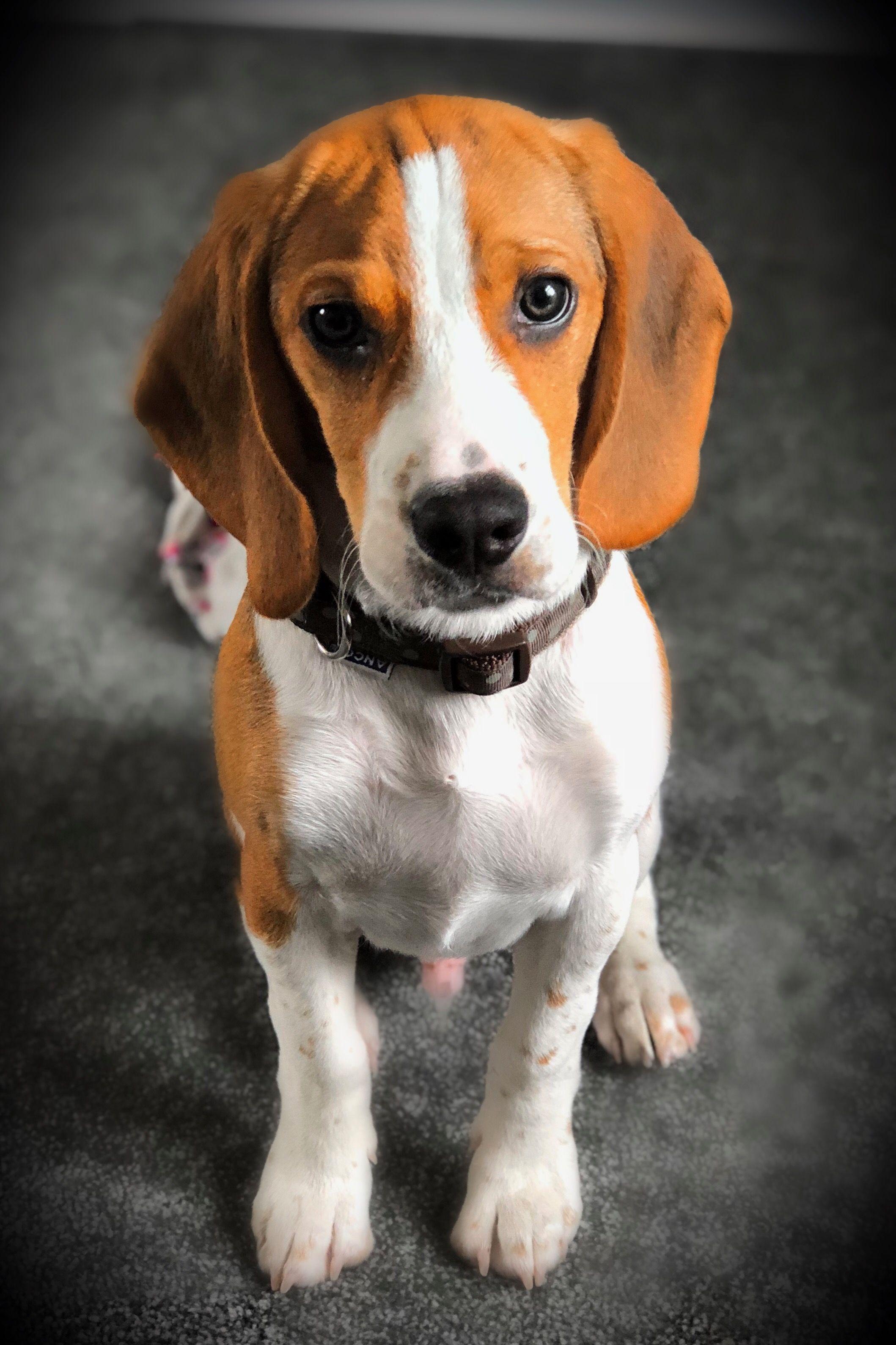 Loki My Beagle At 14 Weeks Beagle Dogs