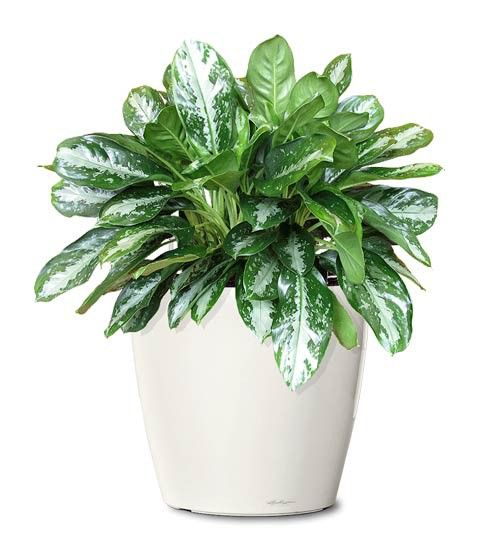 Small Ornamental Plant Key Largo Evergreen Ornamental