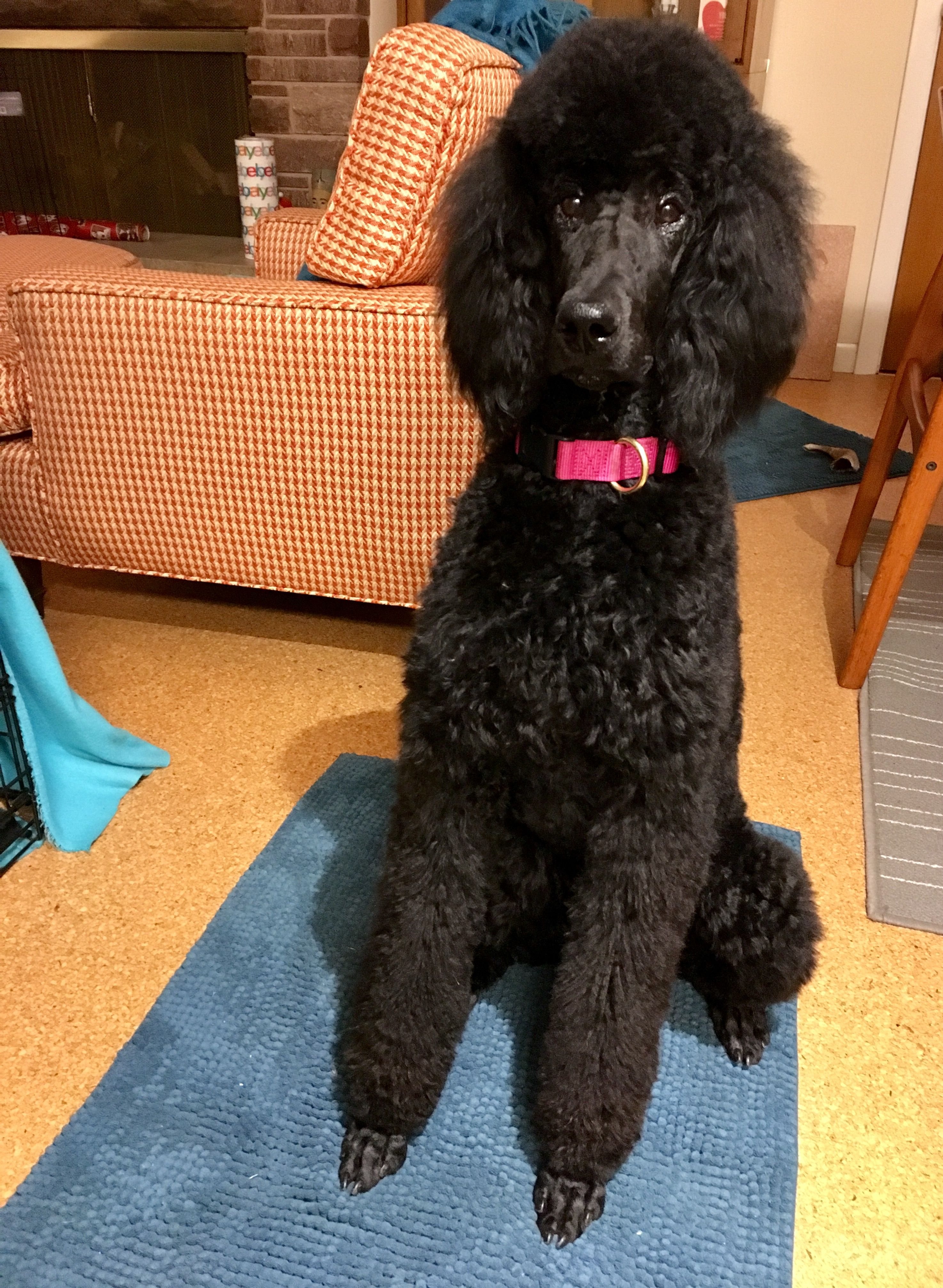 Gigi 8 5 Months Old Big Girl Haircut Poodle Puppy Poodle
