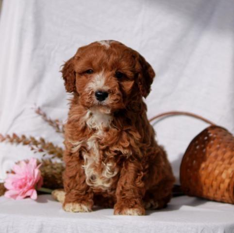 Cockapoo Puppy for Sale Cockapoo puppies for sale