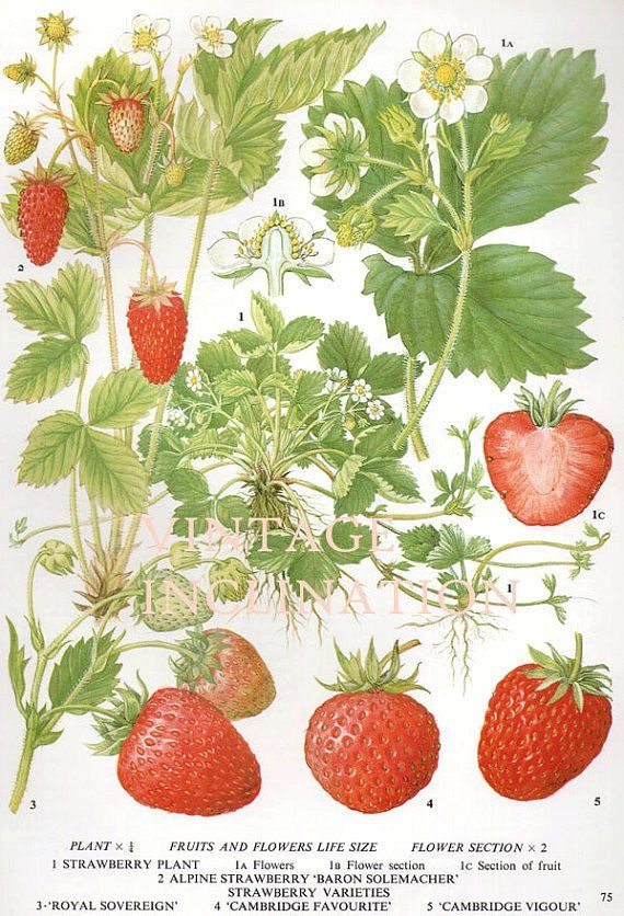 Vintage Botanical Print Antique Strawberries Plant Print Botanical
