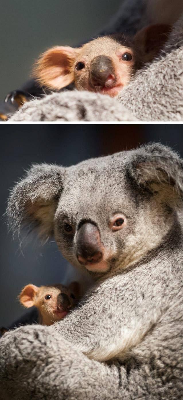 Koala joey with it mum.
