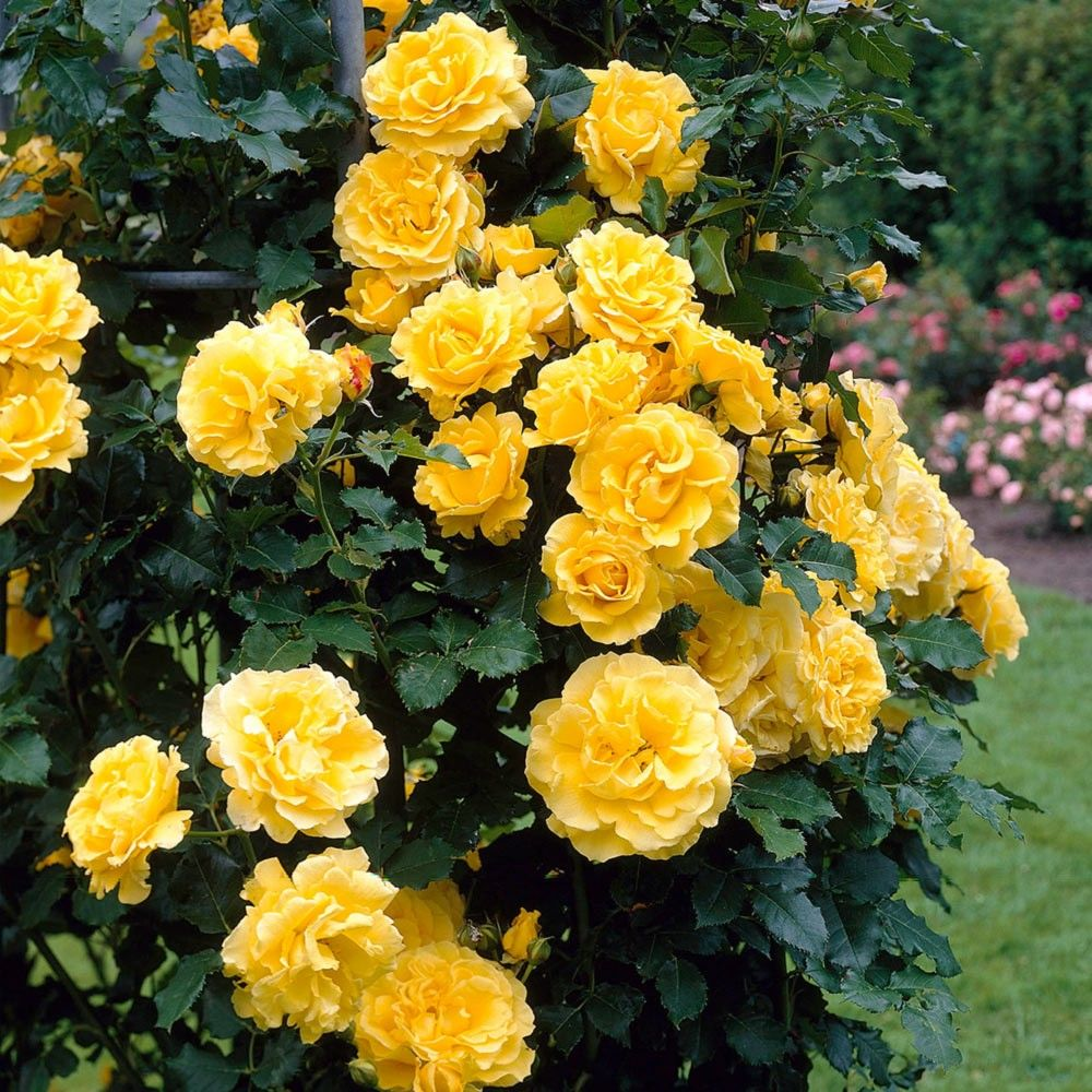Rose Climbing Golden Showers Do Not Prune For 2 Yrs After Planting Prune Sparsely In Autumn Removing Unr Yellow Climbing Rose Climbing Roses Fragrant Flowers
