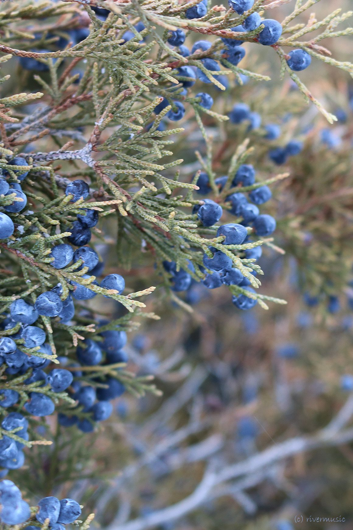 "rivermusic: ""Almost Cobalt-Juniper berries photo by rivermusic, 2015 """