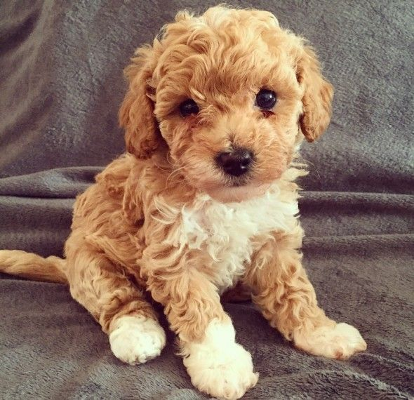 Beautiful Red And White Poochon Girls Available Poochon Dog