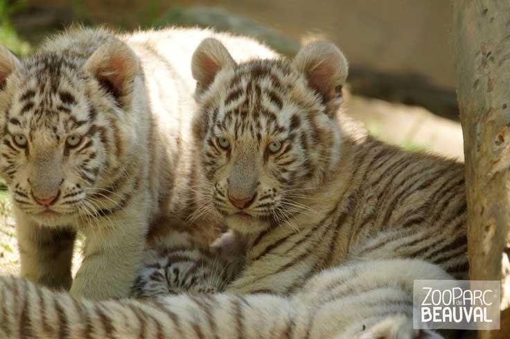 Bebes Tigres Blancs Animaux Extraordinaires Animaux Bebe Tigre Blanc