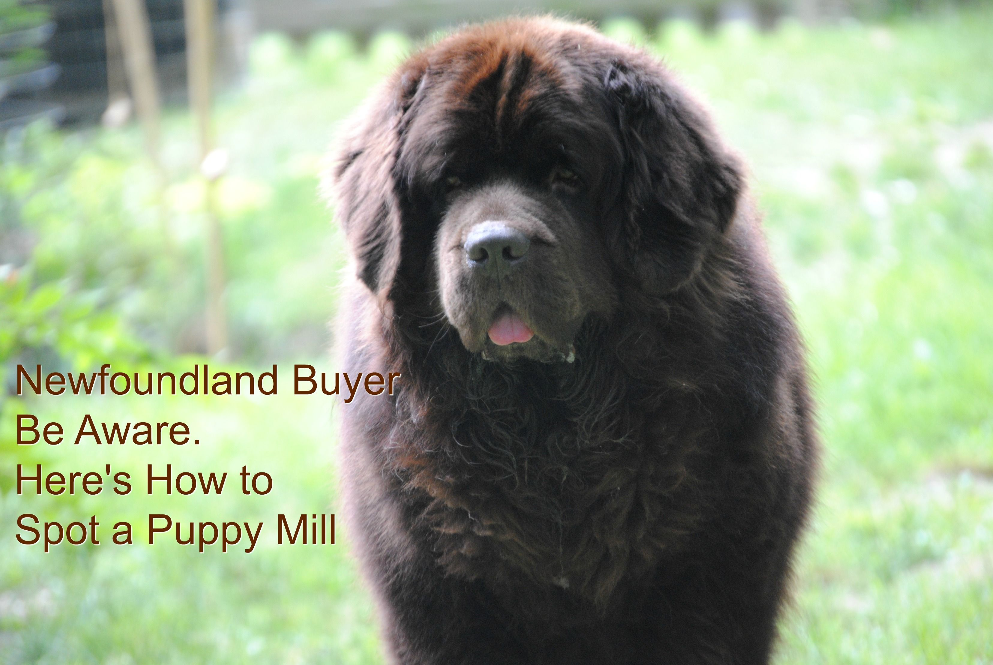 Newfoundland Buyer Be Aware Here S How To Spot A Puppy Mill My Brown Newfies Puppies Puppy Mills Newfoundland Puppies