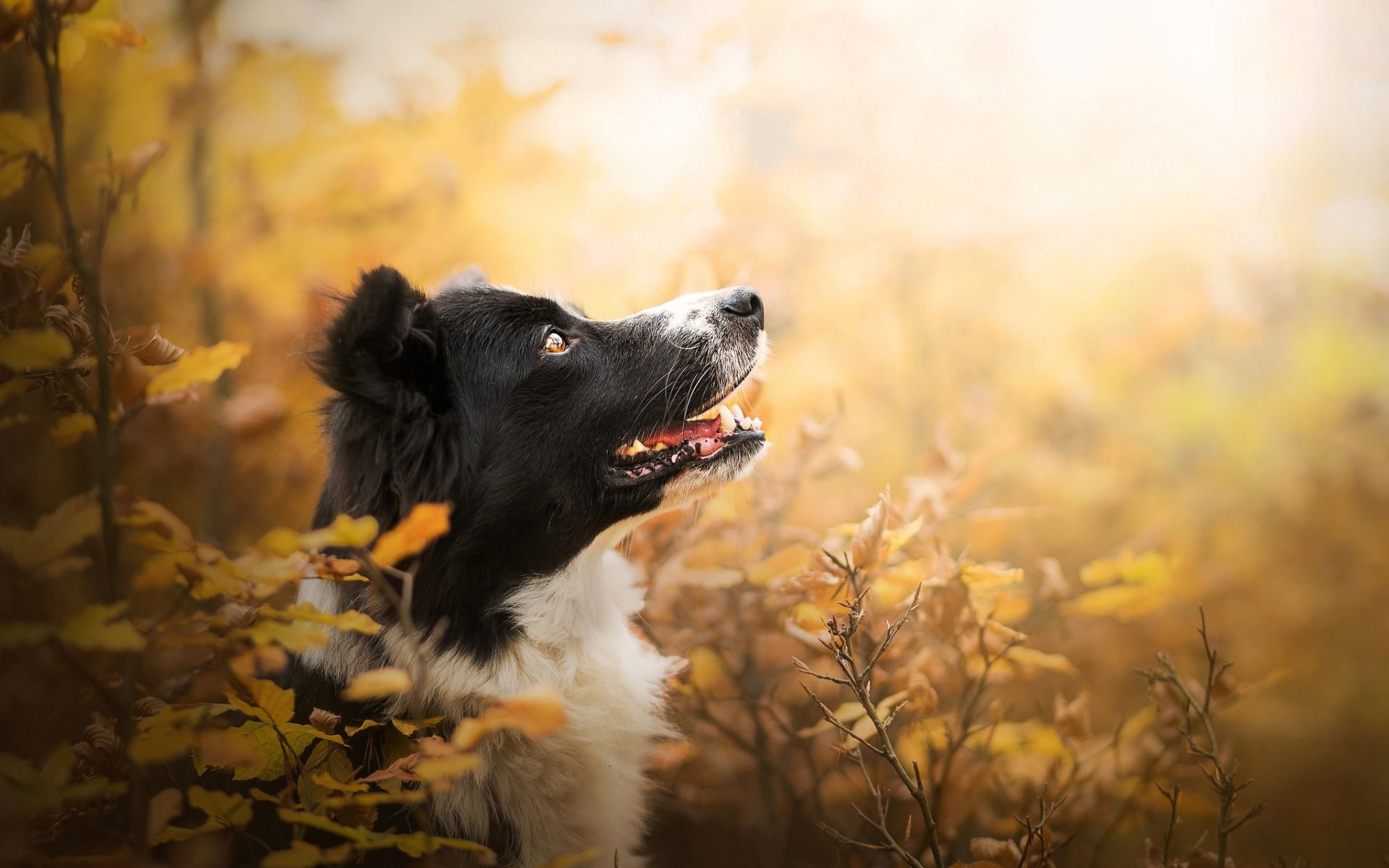 Animals Walpaper Border Collie