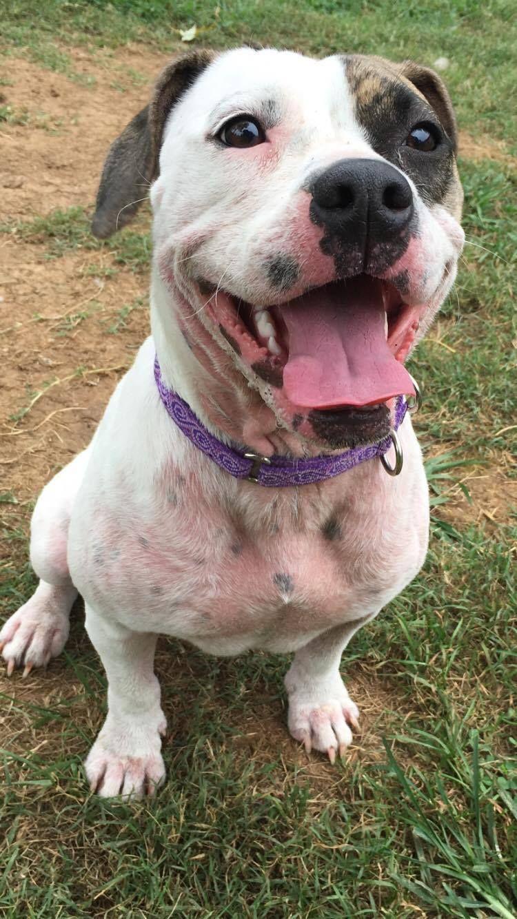 Adopt Scarlett On Pitbull Terrier Pet Adoption Poor Dog