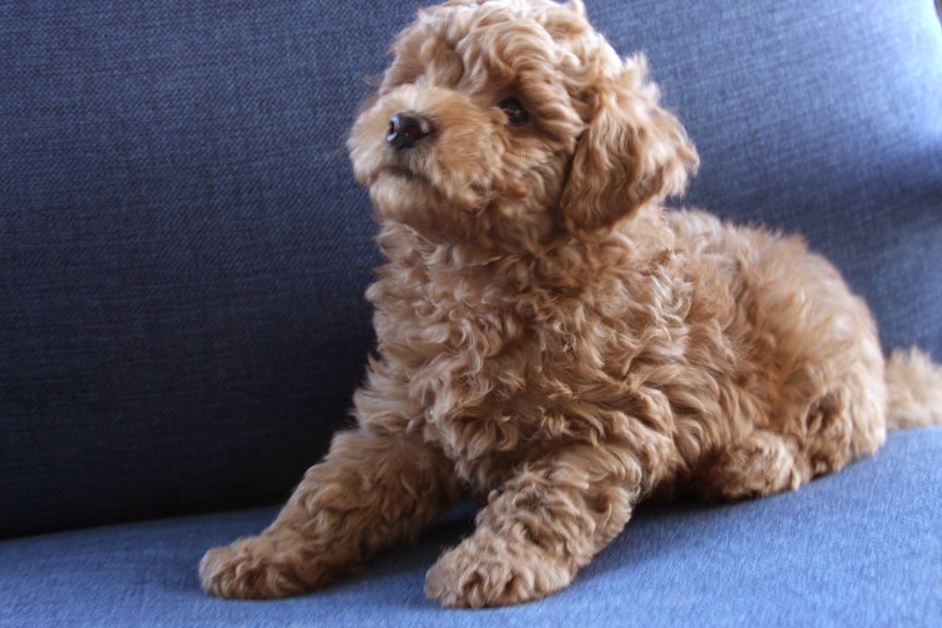 Teacup Goldendoodle (F2B) family friendly and only 6-10 ...