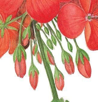 How to draw and paint a botanically accurate study of a pelargonium to remind us of summer. Chance to win one of five copies of the A-Z of Flower Portraits by Michael Lakin too.