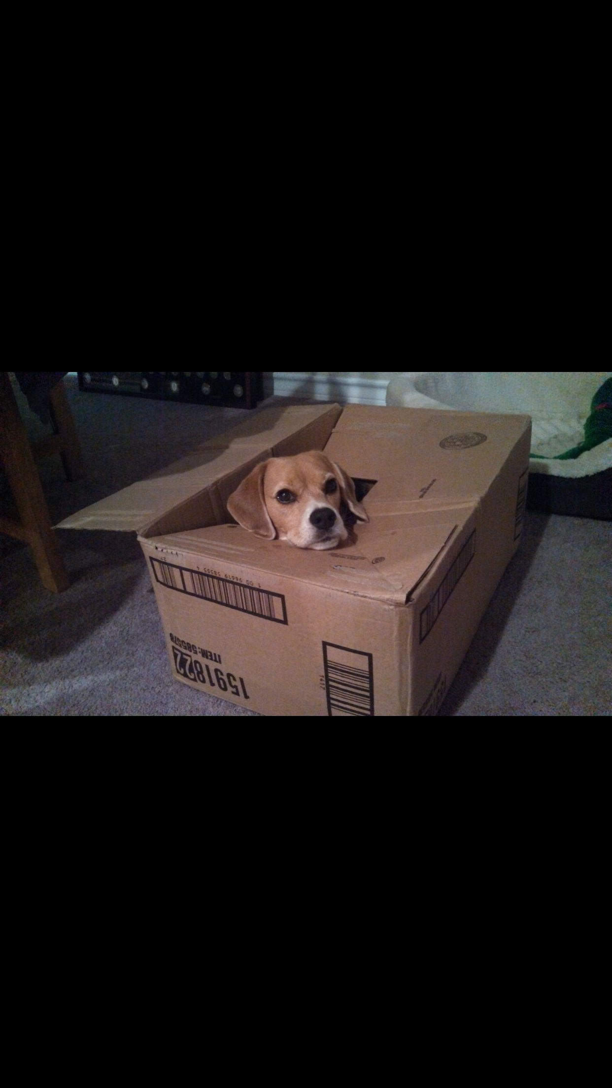 beagle friendly and curious beagle pinterest beagle box and dog