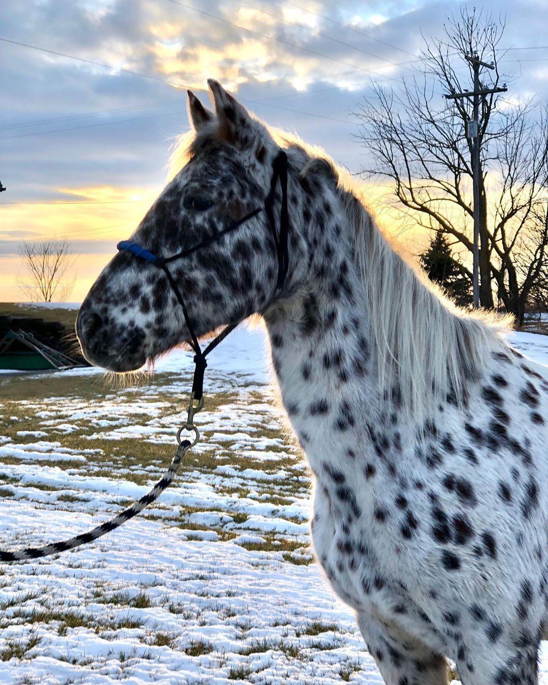 Appaloosa Horse Appaloosa Horses Horses American Saddlebred Horses [ 1350 x 1080 Pixel ]