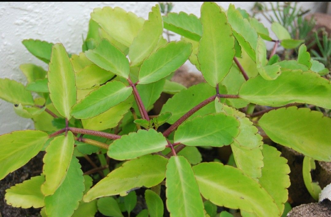Bryophyllum Pinnatum Kalanchoe Pinnata Miracle Leaf Life Love Plant