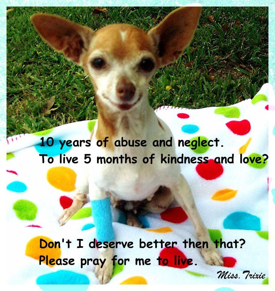 Puppy Mill Survivor Miss Trixie She Passed Away Last Year I Followed Her Story For Months She Truly Touched My Heart Say N Puppy Mills Puppies Puppy Love