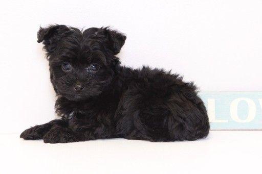 Yorkie Poo Puppy For Sale In Naples Fl Adn 32933 On Puppyfinder Com Gender Female Age 10 Weeks Old Yorkie Poo Yorkie Poo Puppies Puppies For Sale