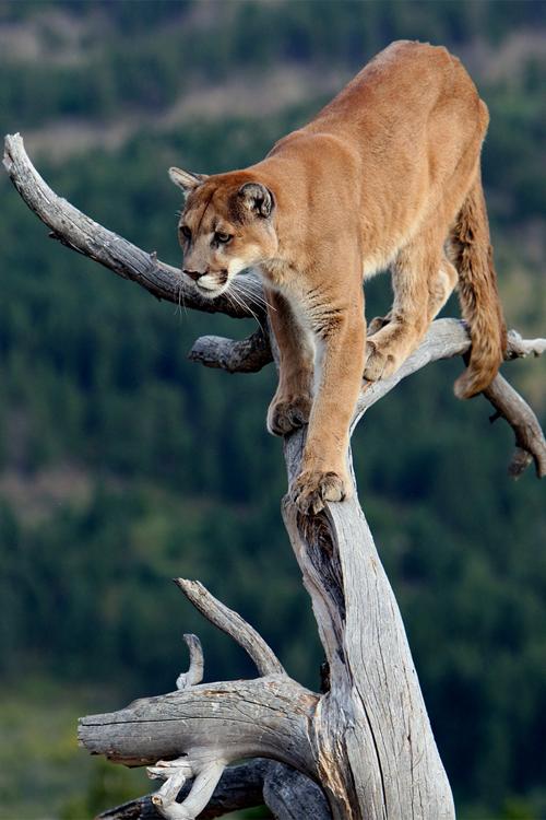 Amazing puma | Photo animaux, Animaux sauvages, Animaux