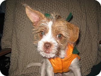 Nashville Tn Shih Tzu Mix Meet Jasper A Puppy For Adoption