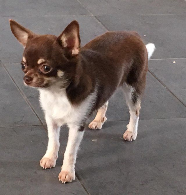 Chihuahua Dogs And Puppies Rehome Buy And Sell In The Uk And