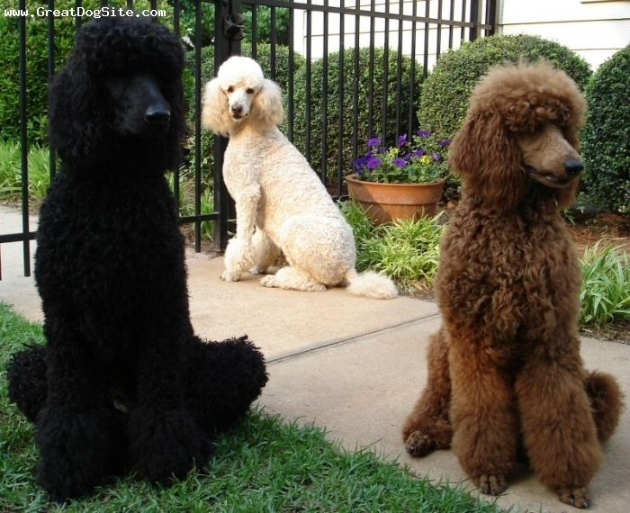 Standard Poodle 5 Years Black White Red 1193465349 Poodle Dog
