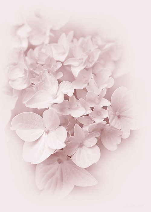 Beautiful Pastel Pink Hydrangea Flowers Photography Art For Your