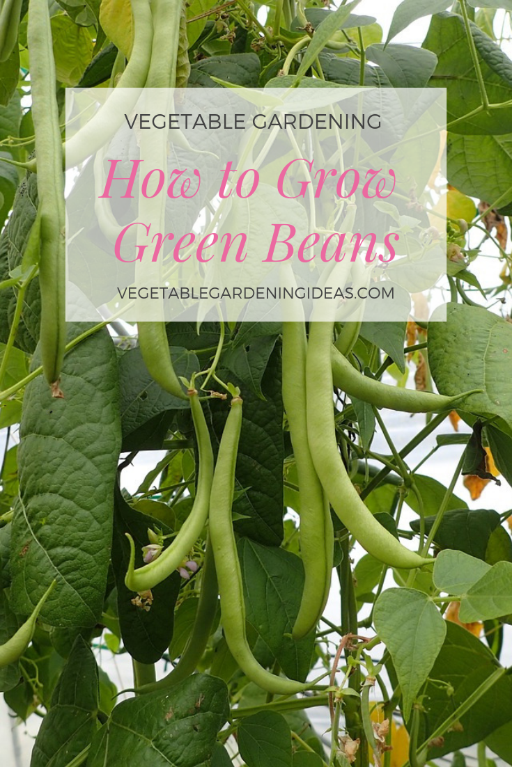 Want to grow snap beans / green beans this gardening